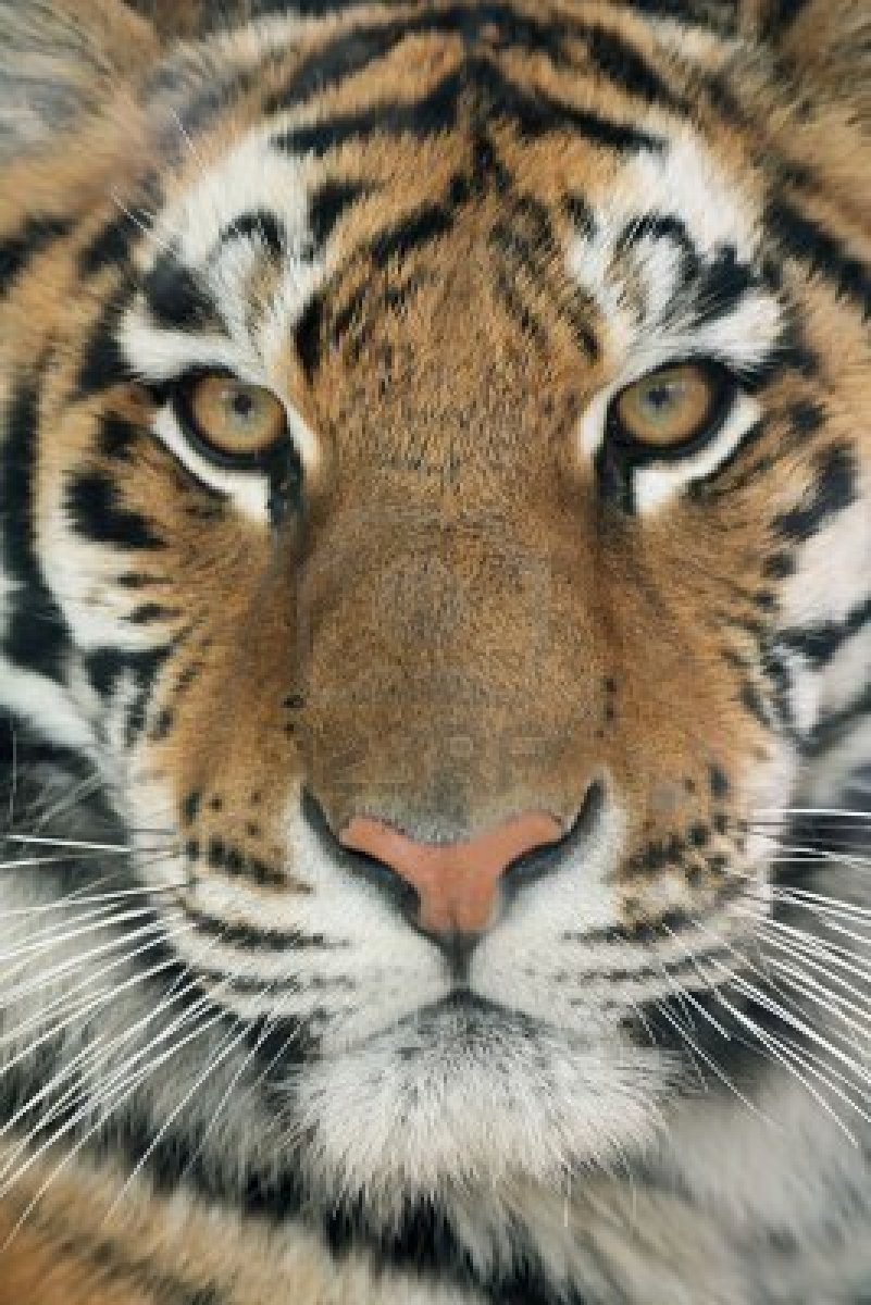 In all fairness, tigers are pretty cute.